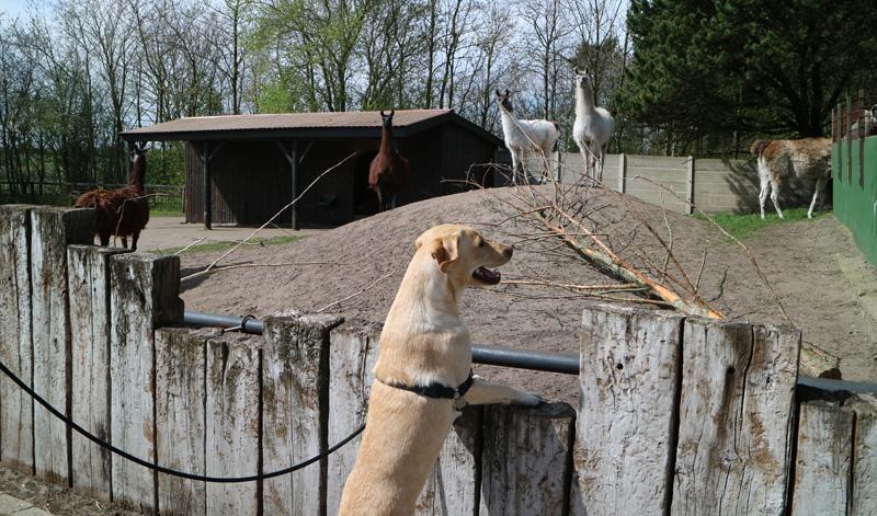 hond in Jyllands zoo