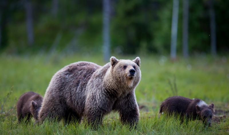 Finland_bears_suomussalmi_print