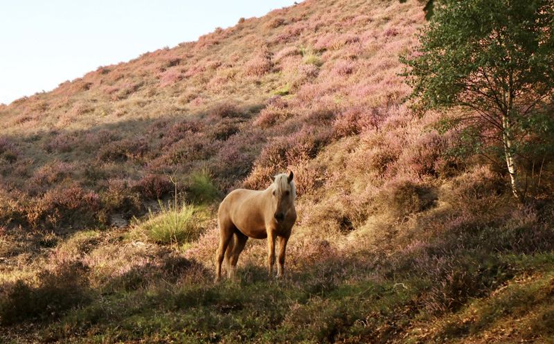 paard posbank paarse heide